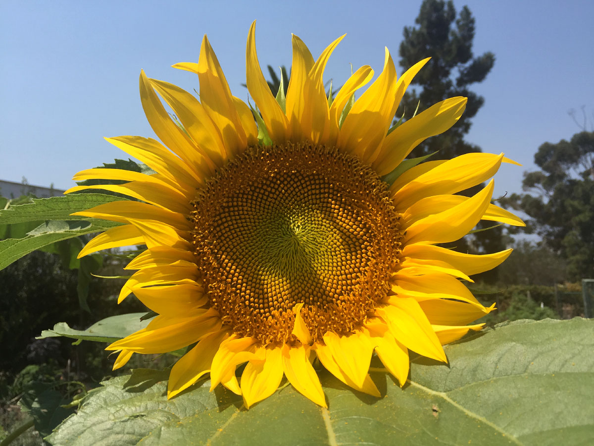 Sunflower at the Golden Hill Community Garden. Photo by Eric Platt